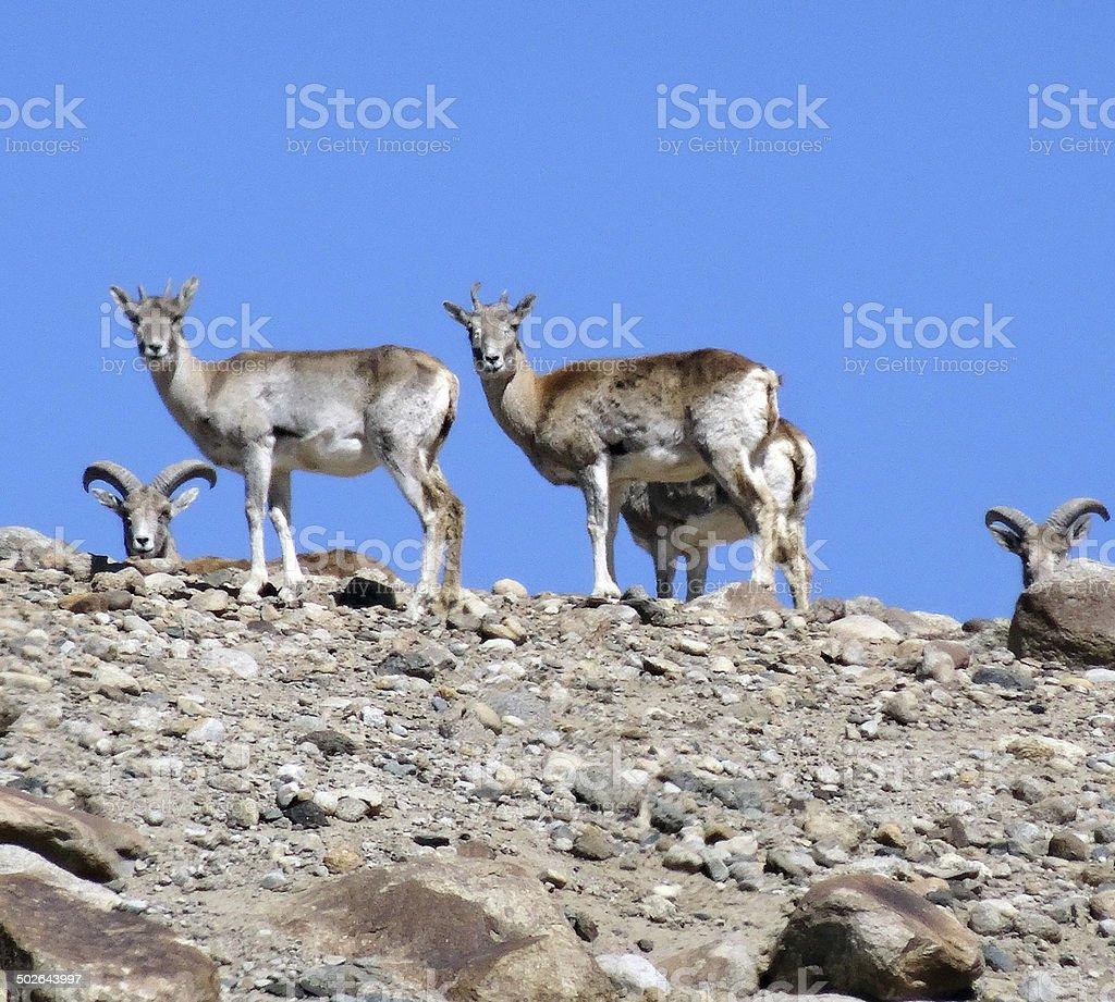 Rock goats stock photo