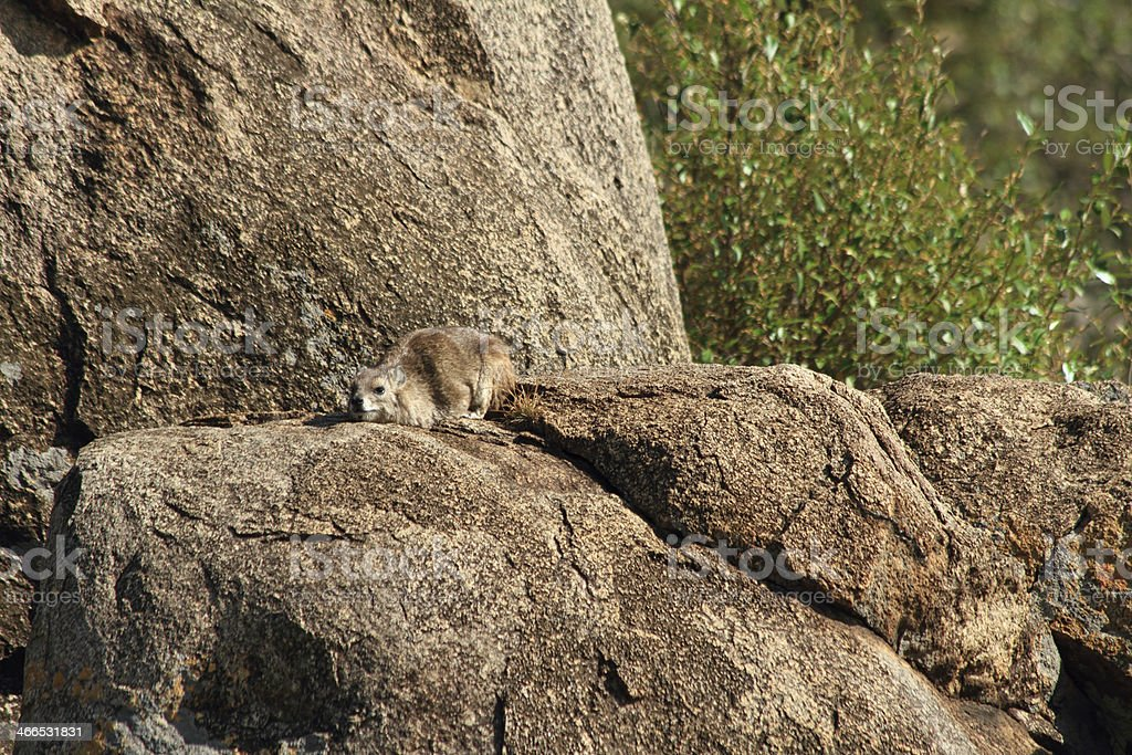 Rock Hyrax Camouflaged stock photo