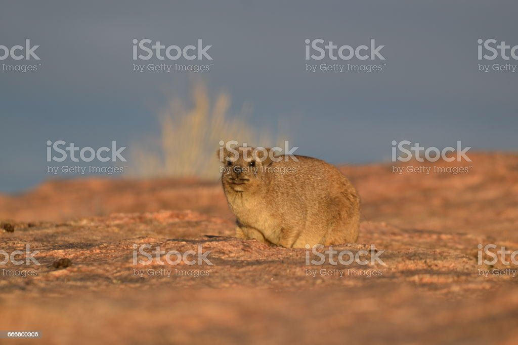 Rock hyrax cathing some sun rays stock photo