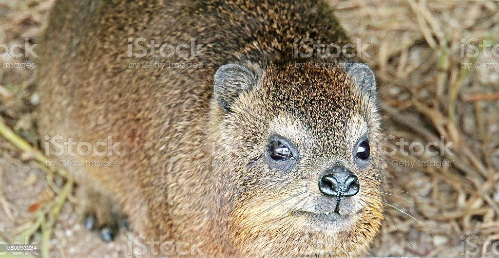 Rock Hyrax in South Africa stock photo