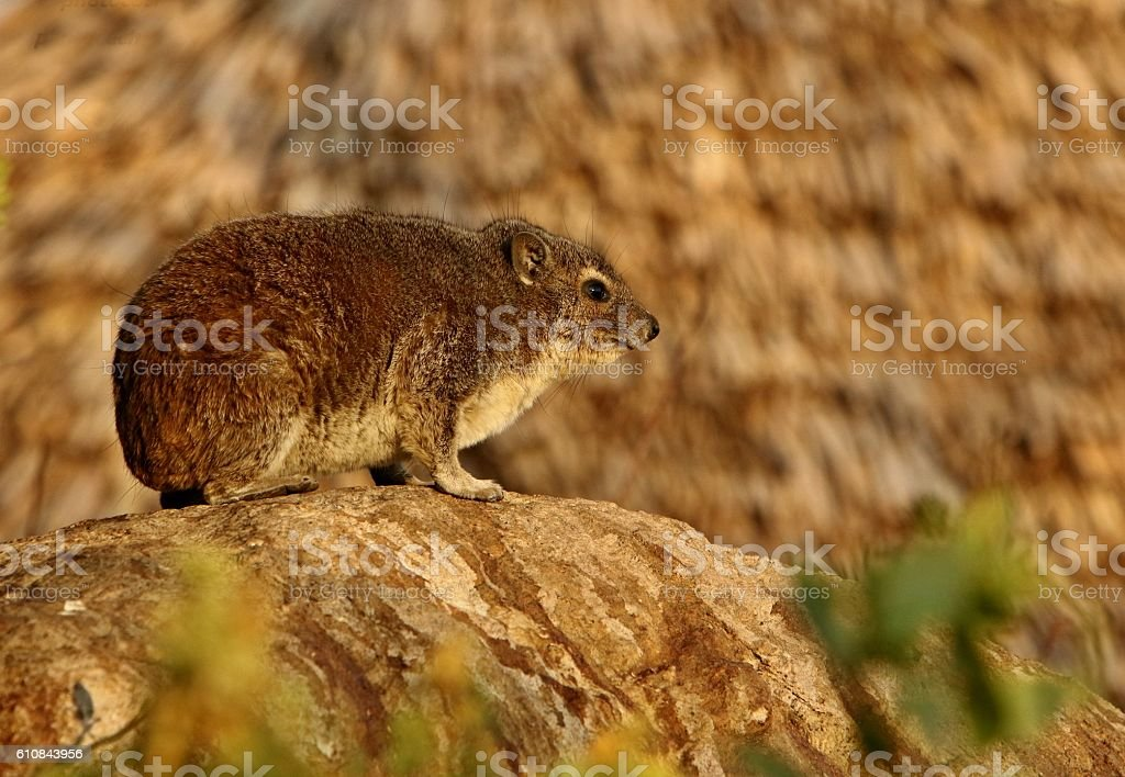 Rock hyrax in the beautiful nature habitat stock photo