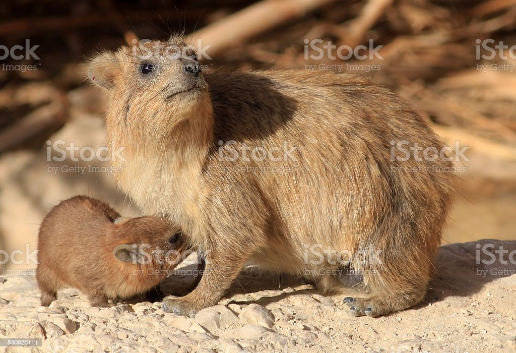 Rock Hyrax Mother Breastfeeding its Child. stock photo