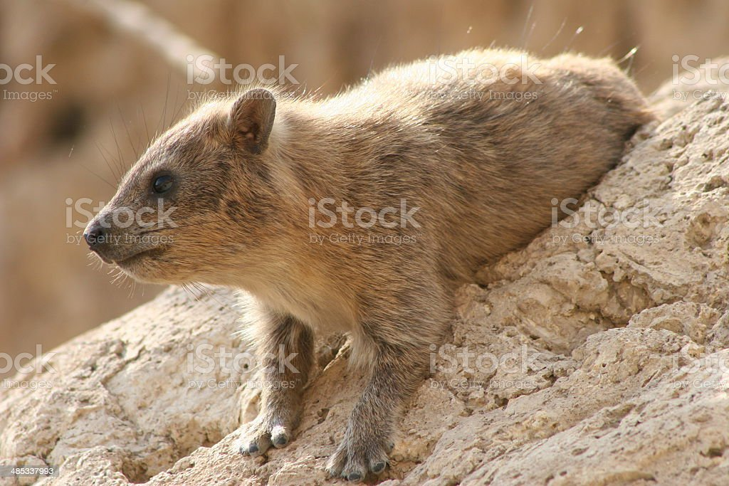 Rock Hyrax on a Boulder stock photo