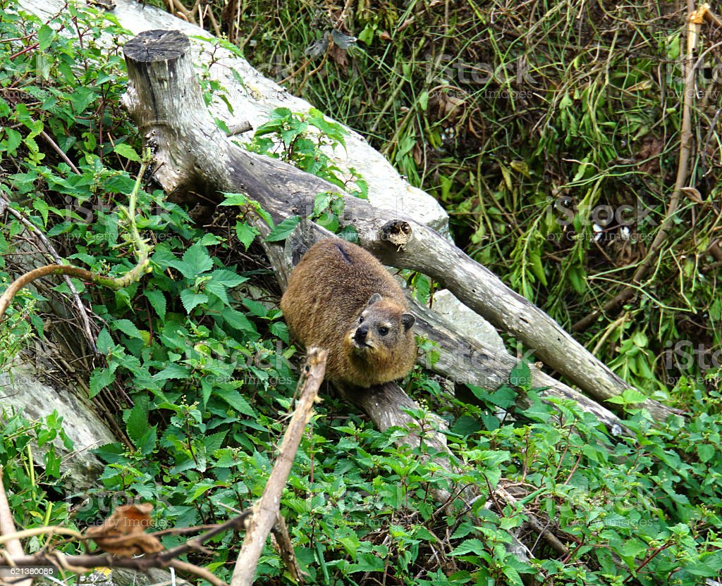 Rock Hyrax on a tree trunk stock photo