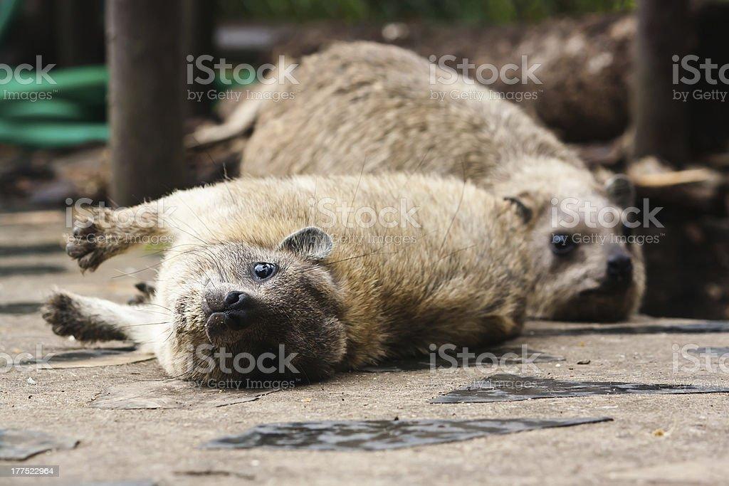 Rock hyrax stock photo