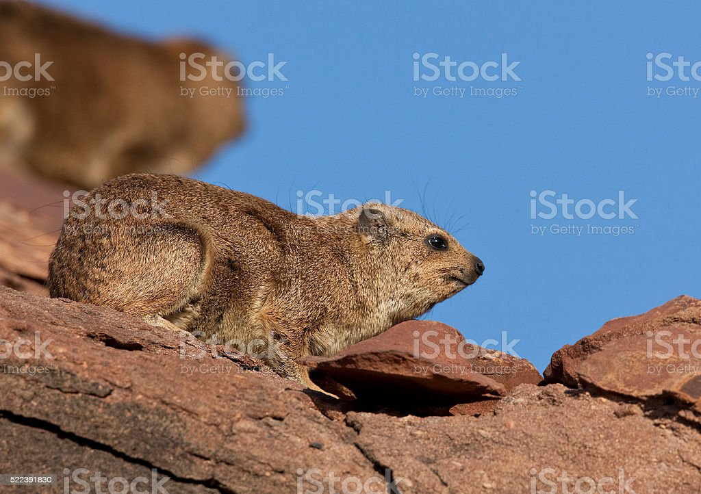 Rock Hyrax (Procavia capensis) stock photo
