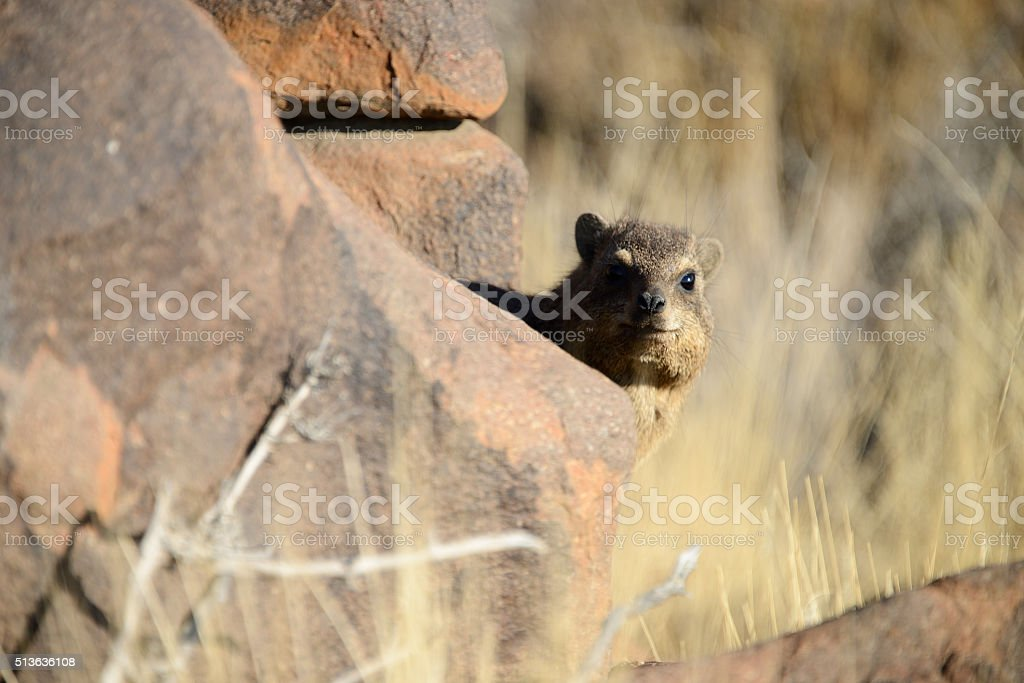 Rock hyrax, Quiver Tree Forest, Namibia stock photo