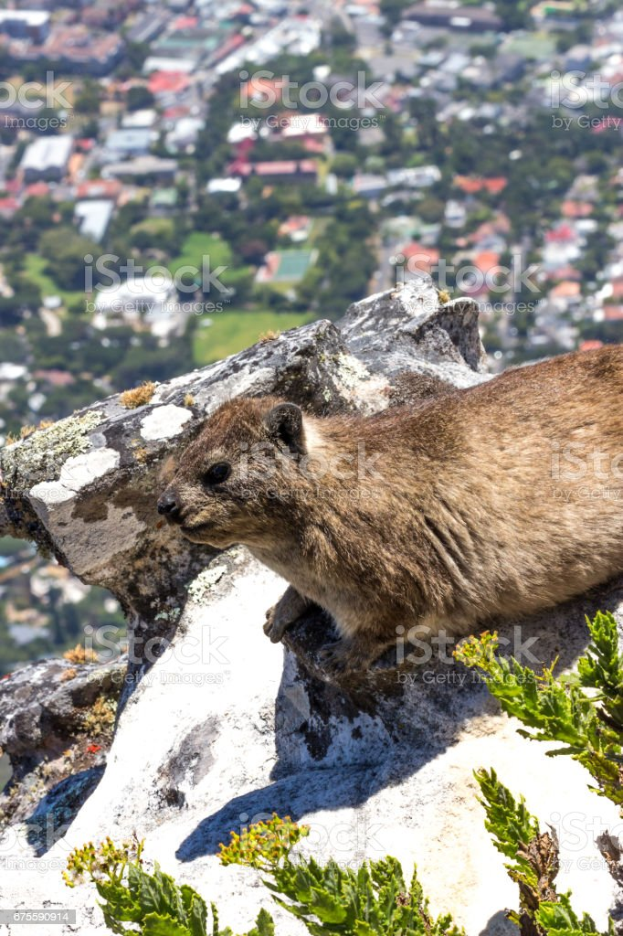 Rock Hyrax sitting on rock at Table Mountain, Cape Town stock photo