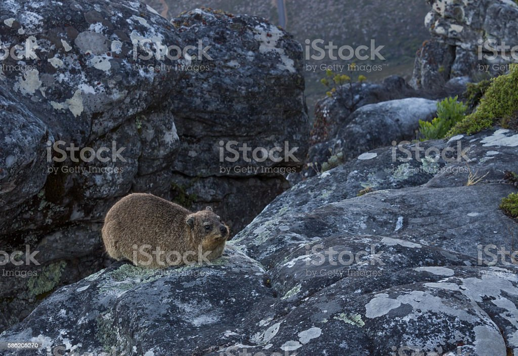 Rock Hyrax sitting on rock at Table Mountain stock photo
