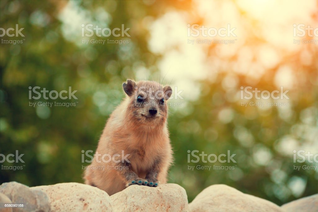 Rock hyrax walking on the stone stock photo