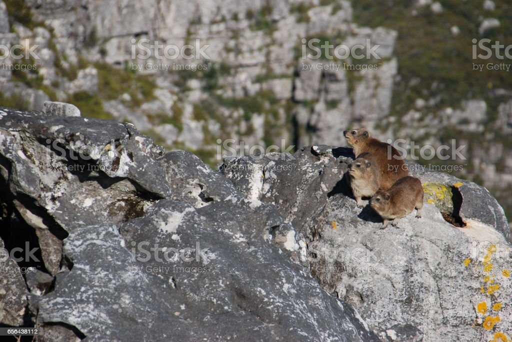 Rock hyraxes basking in the sun, Table Mountain, South Africa stock photo
