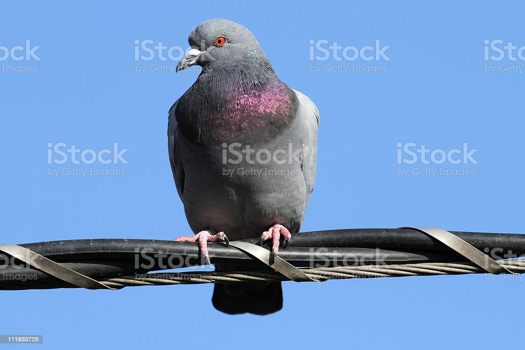 Rock pigeon Columbia livia standing on cable wires stock photo