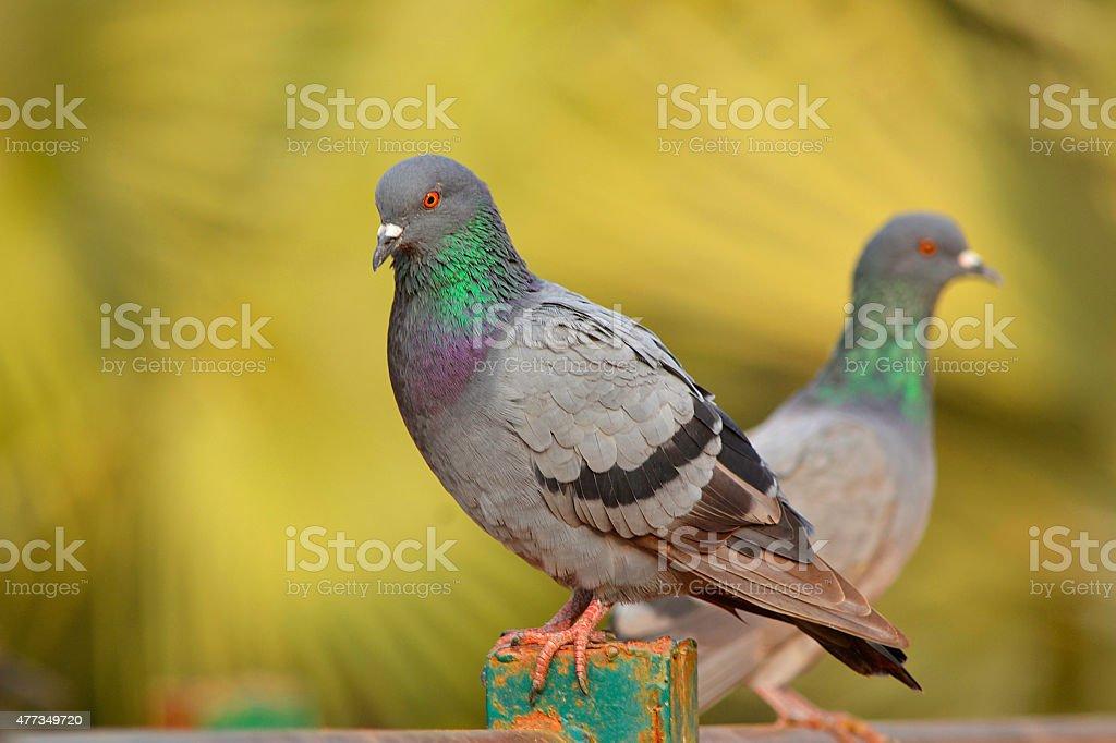 Rock pigeon stock photo
