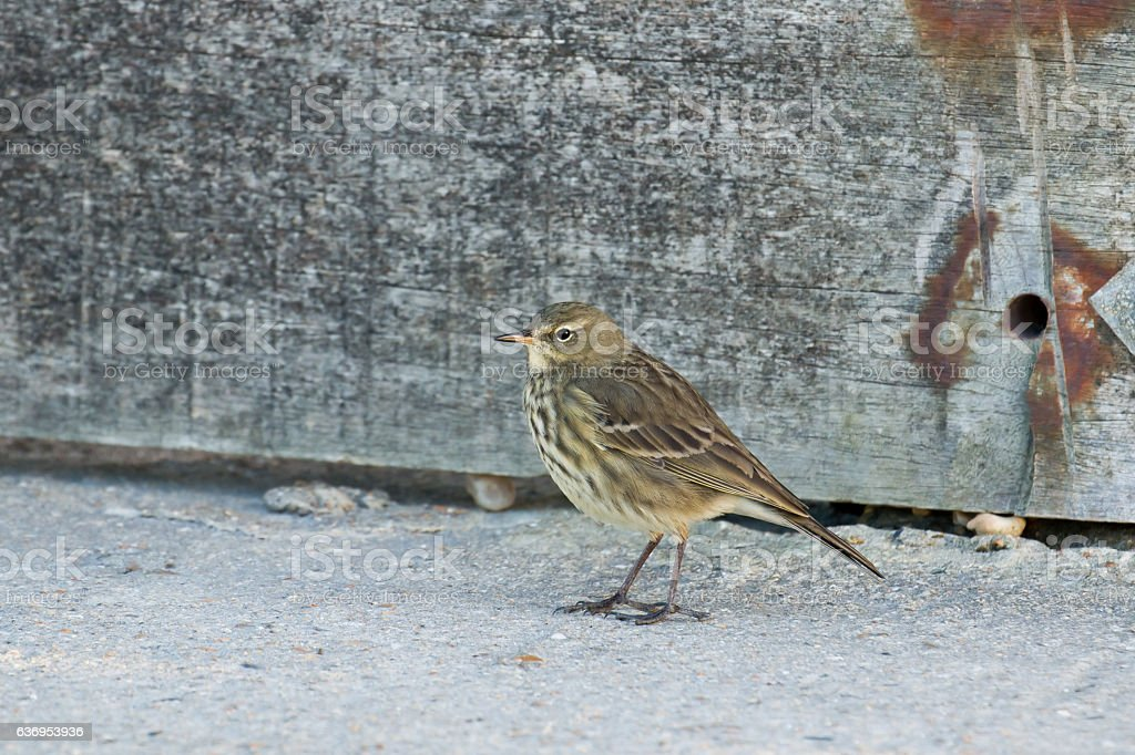 Rock Pipit stock photo