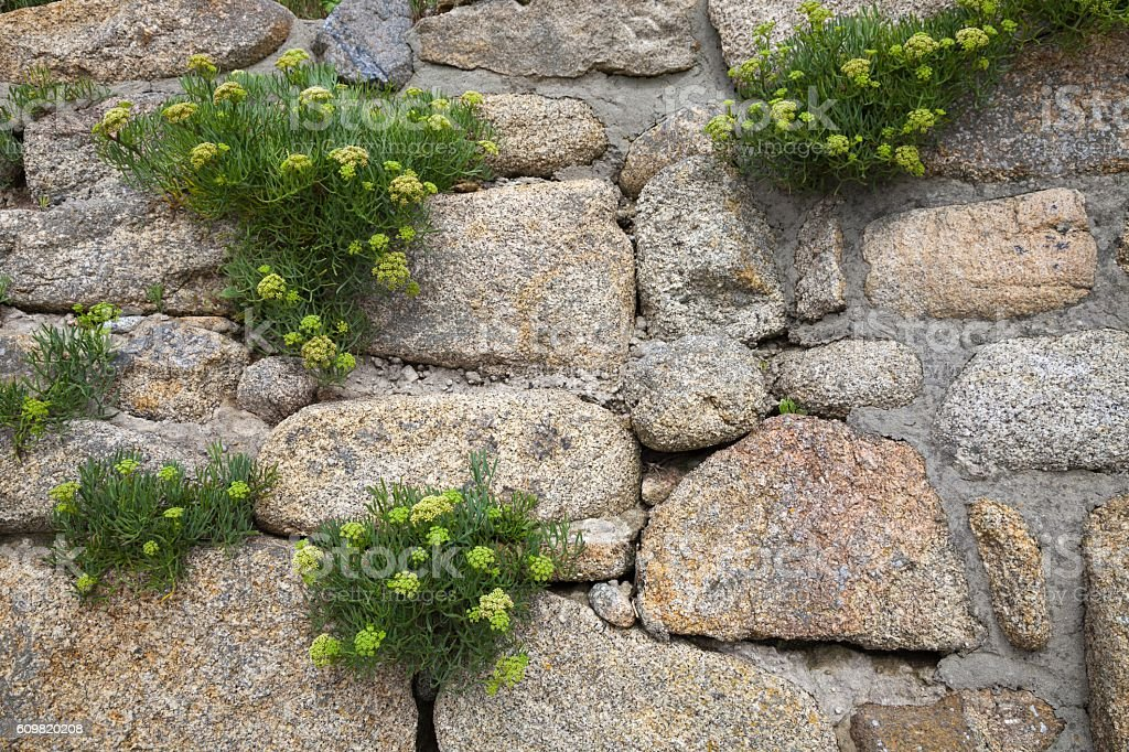 Rock Samphire (Crithmum maritimum) stock photo