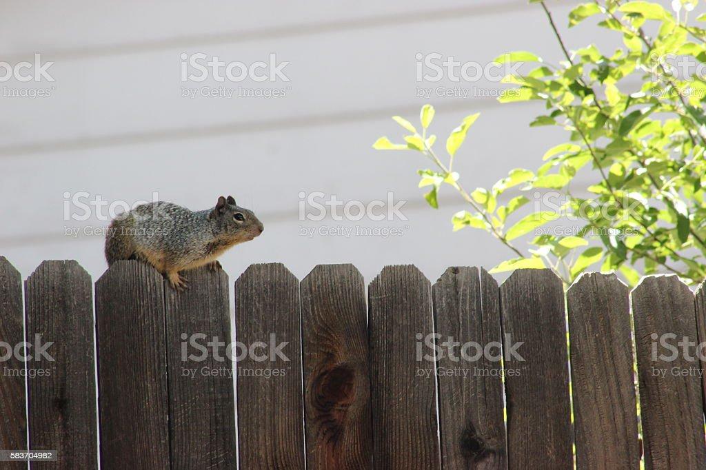 Rock Squirrel stock photo