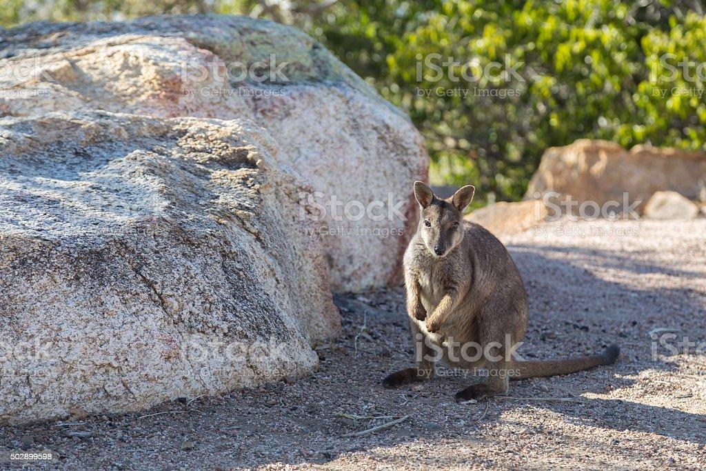 Rock wallaby in Australia stock photo