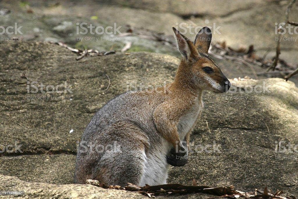 Rock Wallaby royalty-free stock photo