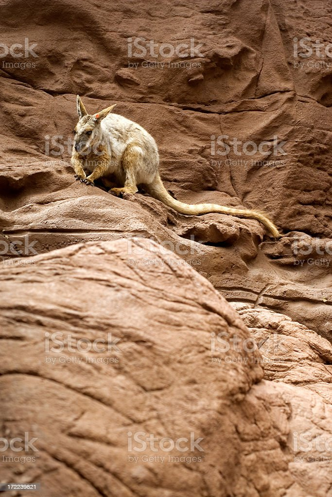 Rock Wallaby stock photo