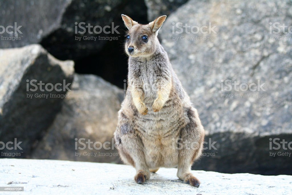 Rock Wallaby royalty-free stock photo