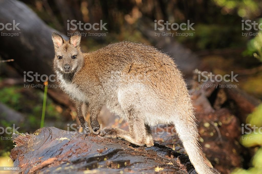 Rock Wallaby stock photo