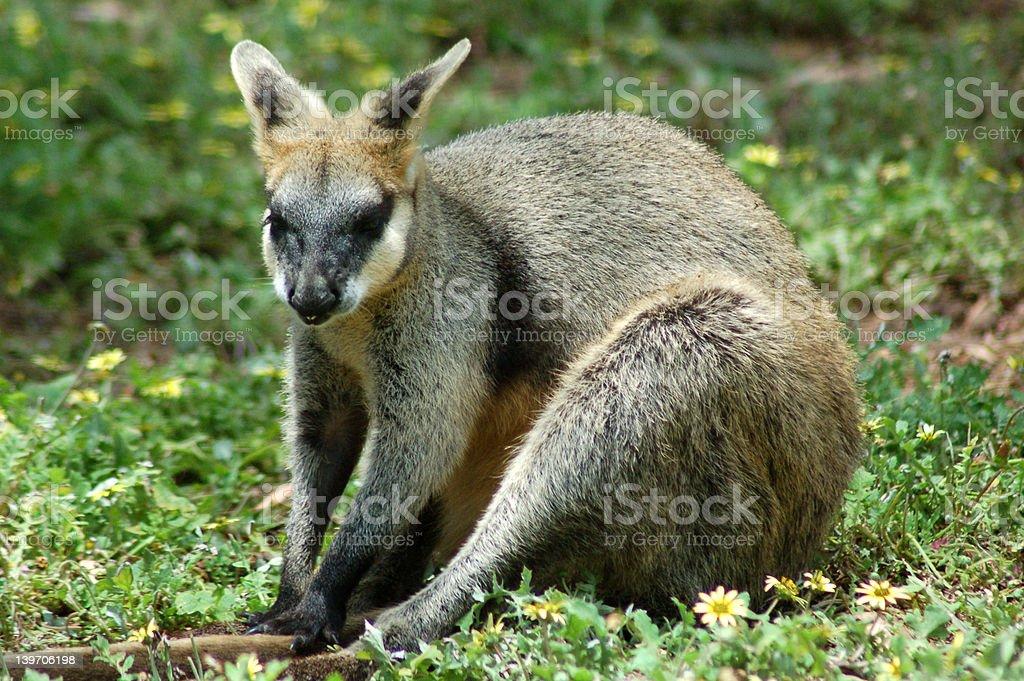 Rock Wallaby Sitting royalty-free stock photo