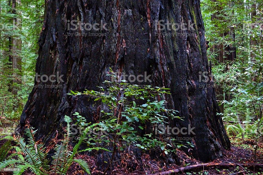 Rockefeller Black Redwood stock photo