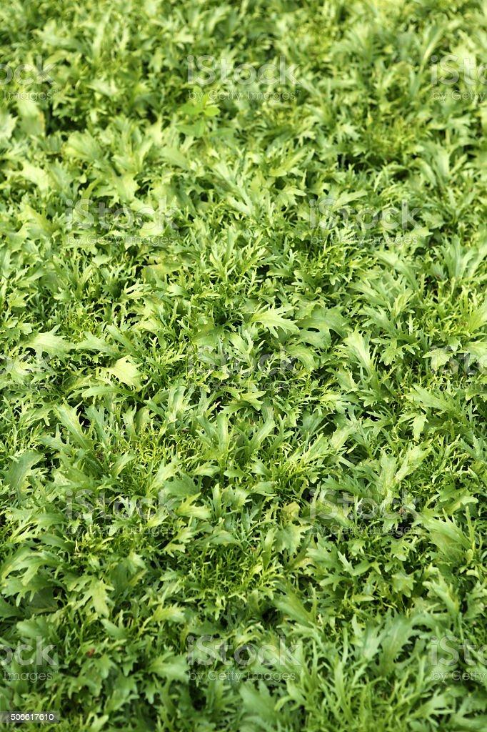 rocket lettuce stock photo