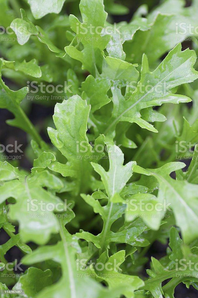 Rocket Salad... royalty-free stock photo