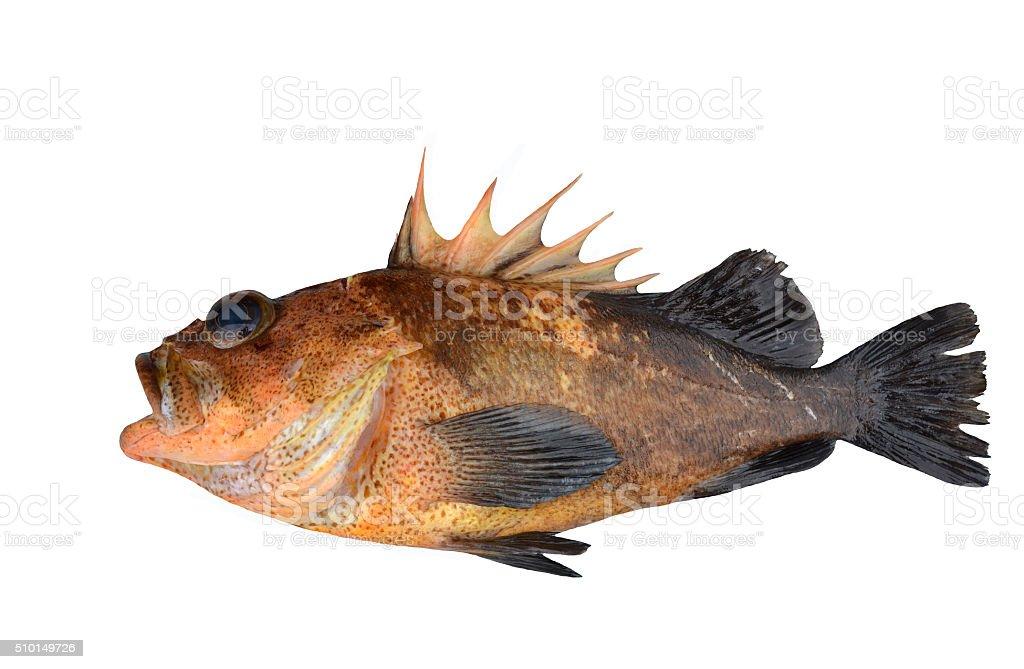 Rockfish, Alaska stock photo