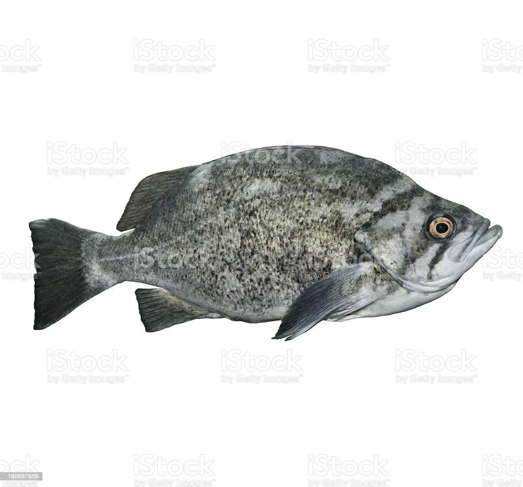 Rockfish royalty-free stock photo