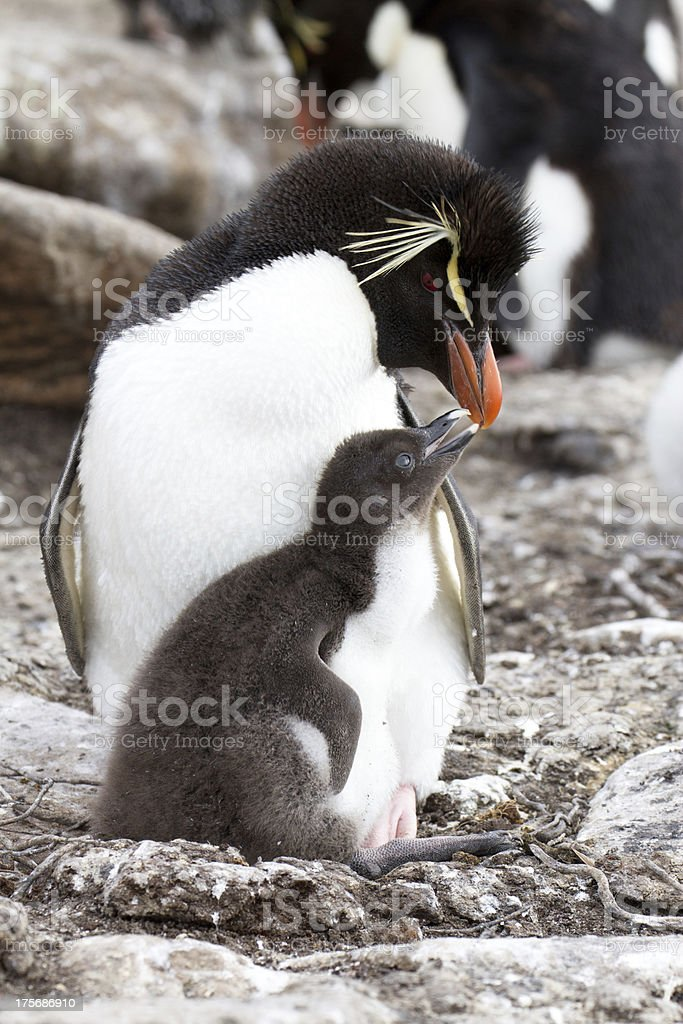 Rockhopper Penguin and her chick royalty-free stock photo