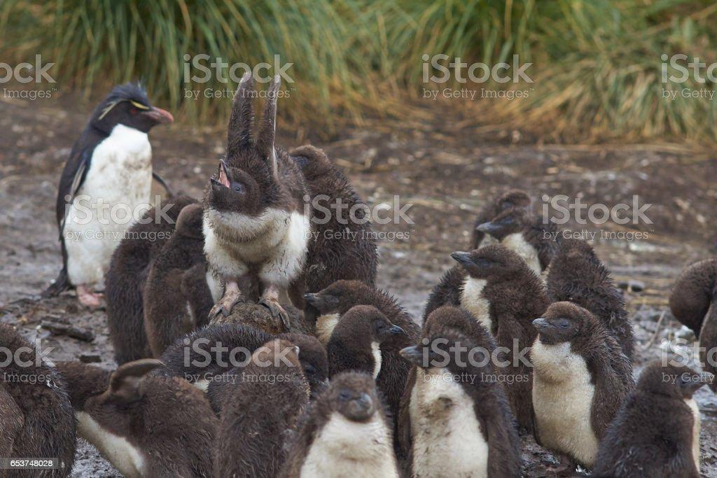 Rockhopper Penguin chicks stock photo