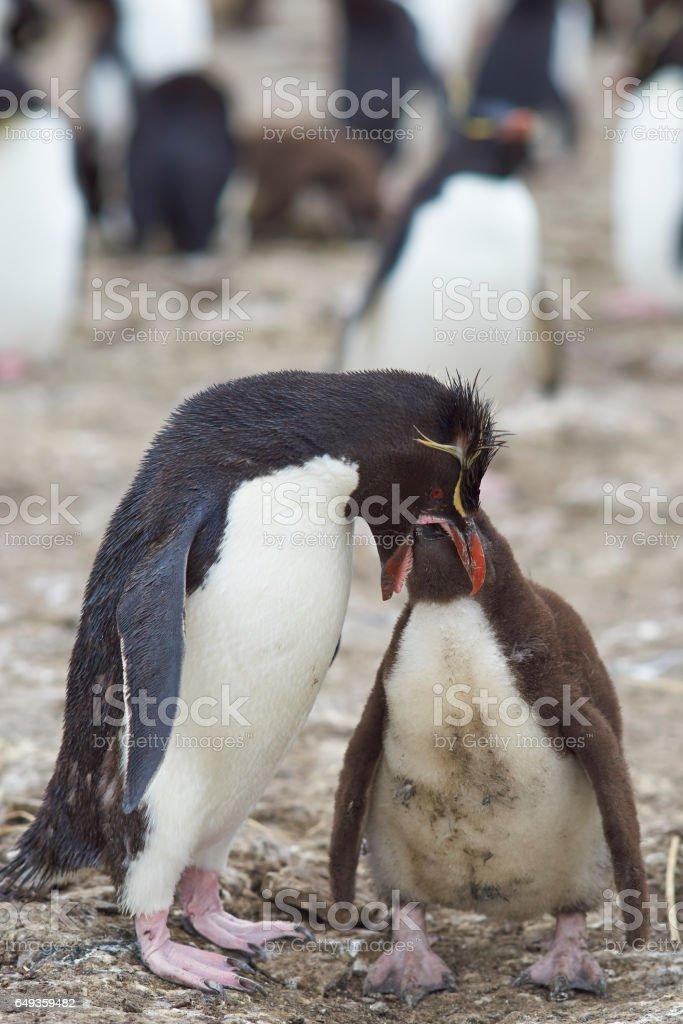 Rockhopper Penguin feeding chick stock photo