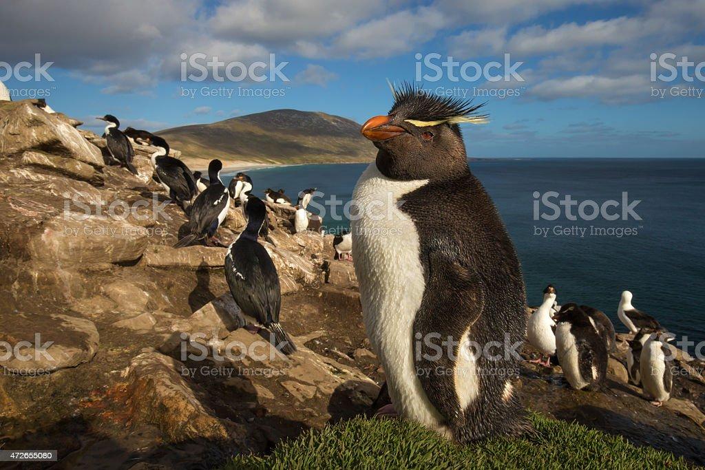 Rockhopper penguin in the rookery stock photo