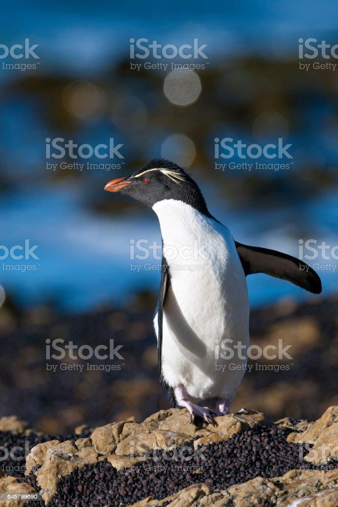 Rockhopper Penguin Looking Backward on the Falkland Islands stock photo