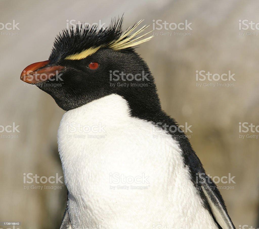 Rockhopper penguin stock photo