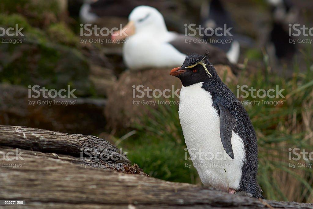 Rockhopper Penguinand Black-browed Albatross stock photo