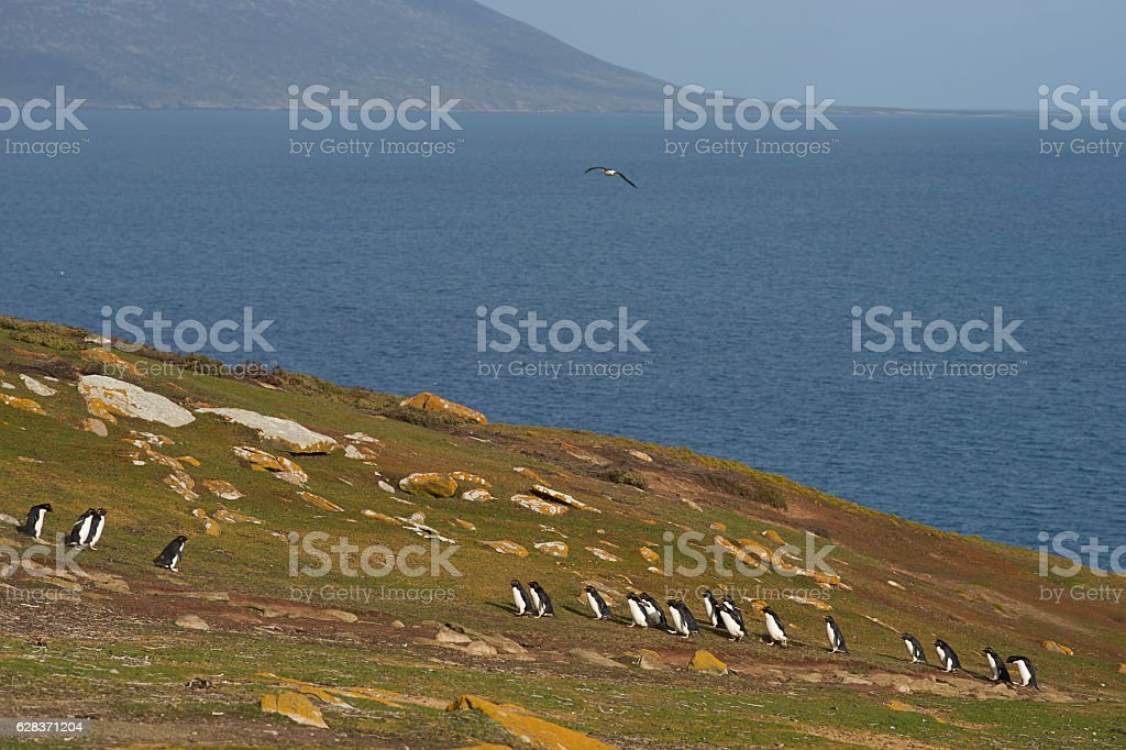 Rockhopper Penguins on Saunders Island stock photo