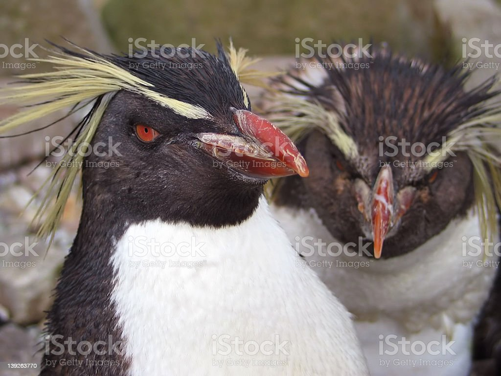 Rockhopper Penguins stock photo