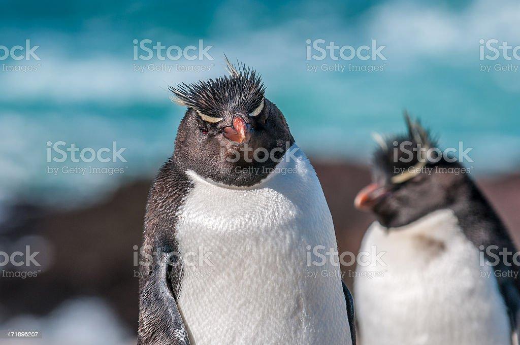rockhopper penguins royalty-free stock photo
