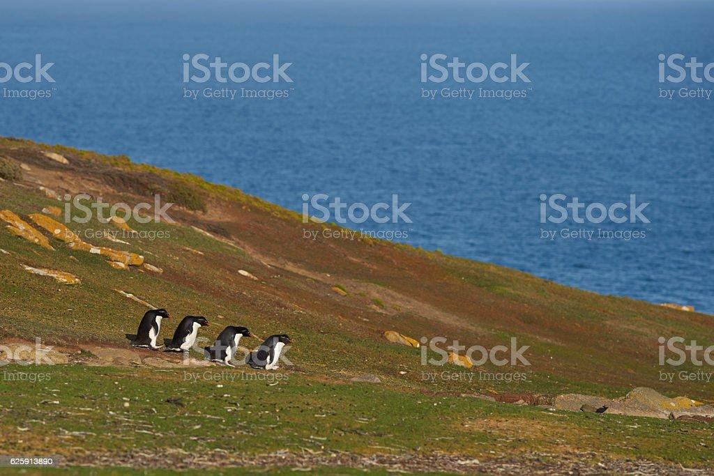 Rockhopper Penguins (Eudyptes chrysocome) stock photo