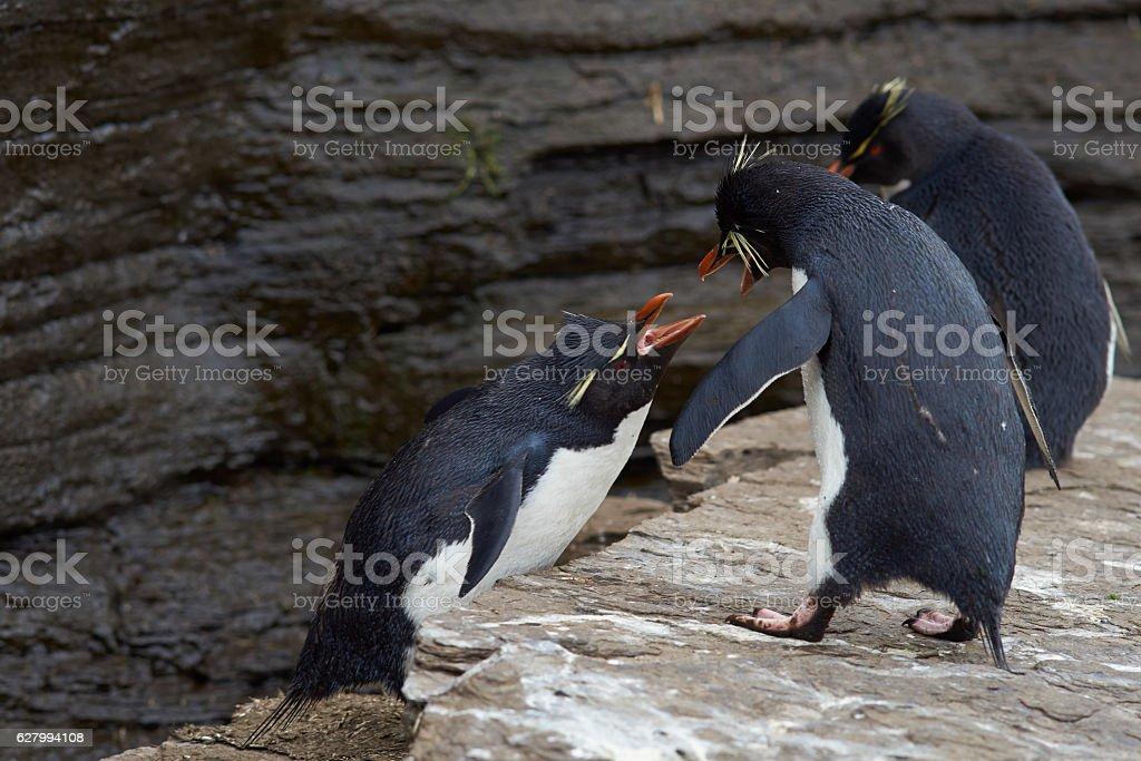 Rockhopper Penguins squabbling stock photo