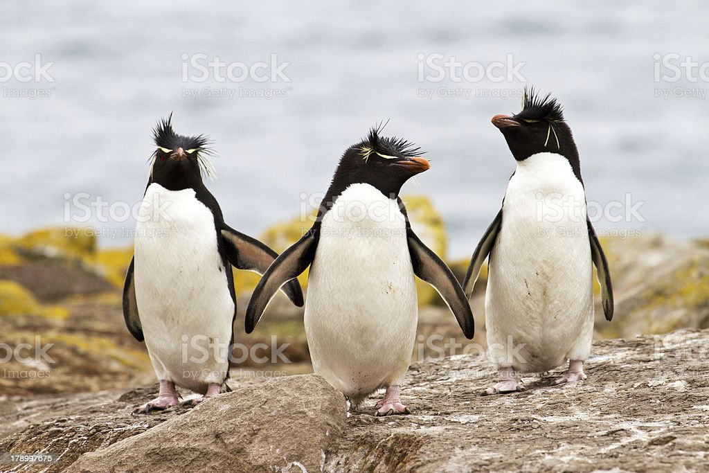 Rockhopper Penguins walking uphill stock photo