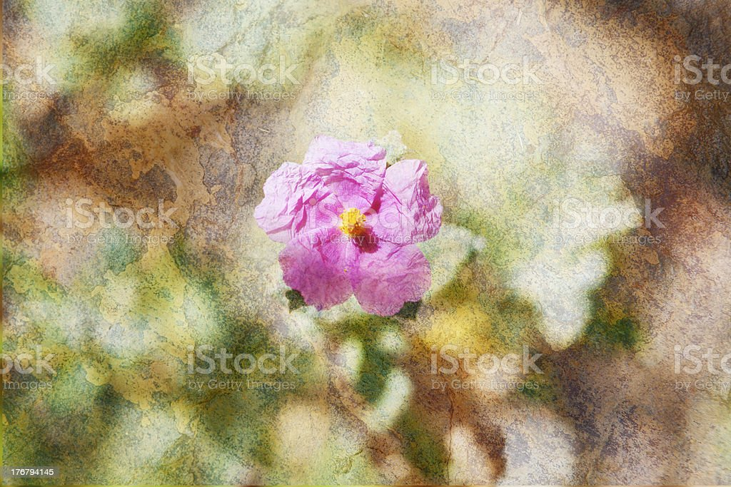 Rockrose. stock photo
