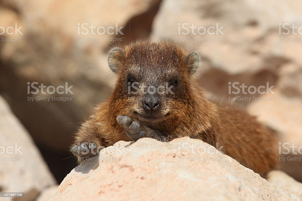 Rocks hyrax (Procavia capensis) stock photo