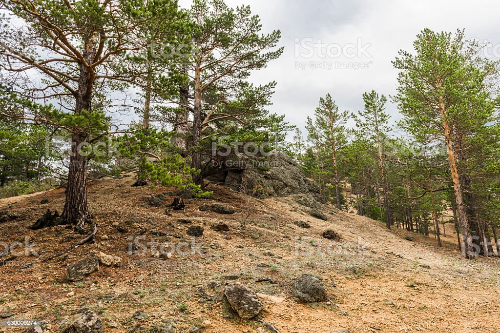 Rocky hillside overgrown pine forest. stock photo