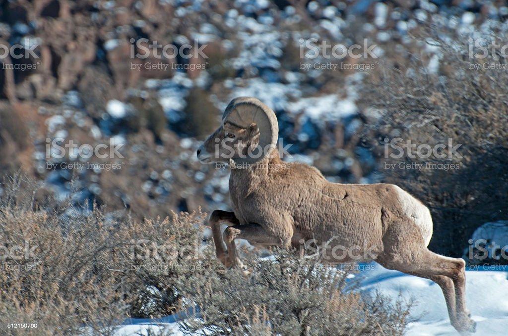 Rocky Mountain Bighorn Ram stock photo