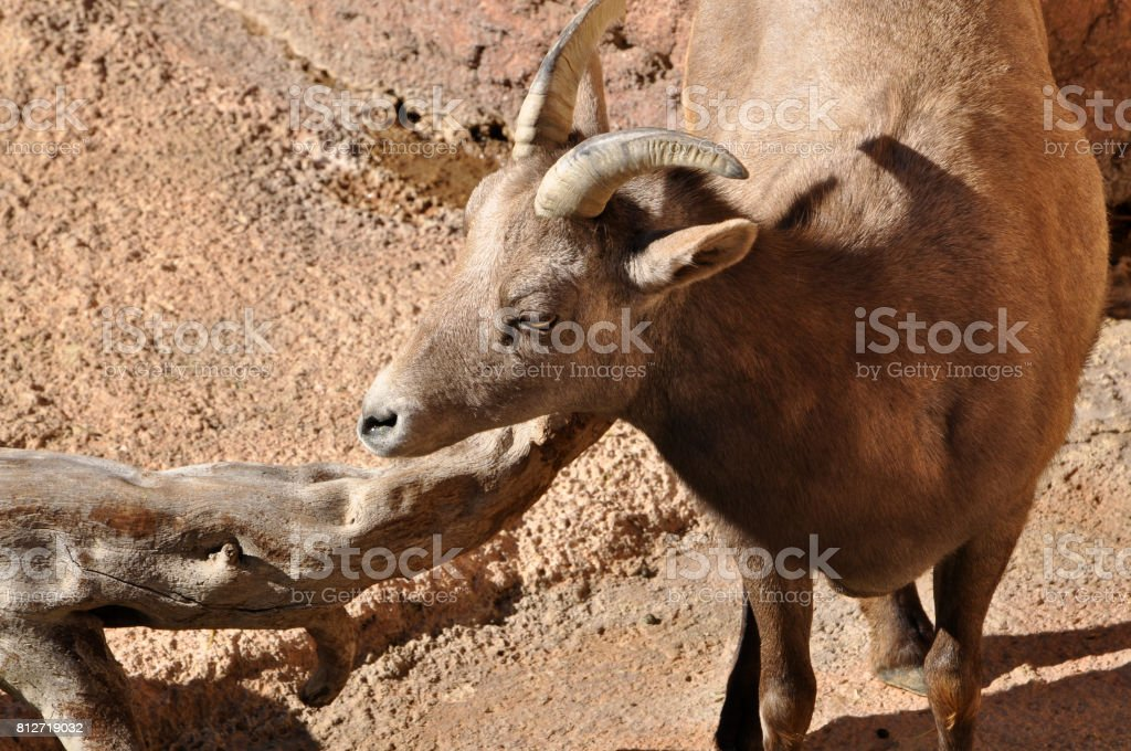 Rocky Mountain Bighorn sheep female ewe with small horns in desert rocks stock photo