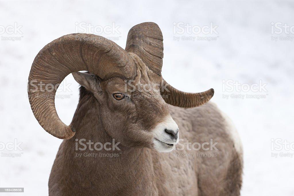 Rocky Mountain bighorn sheep royalty-free stock photo